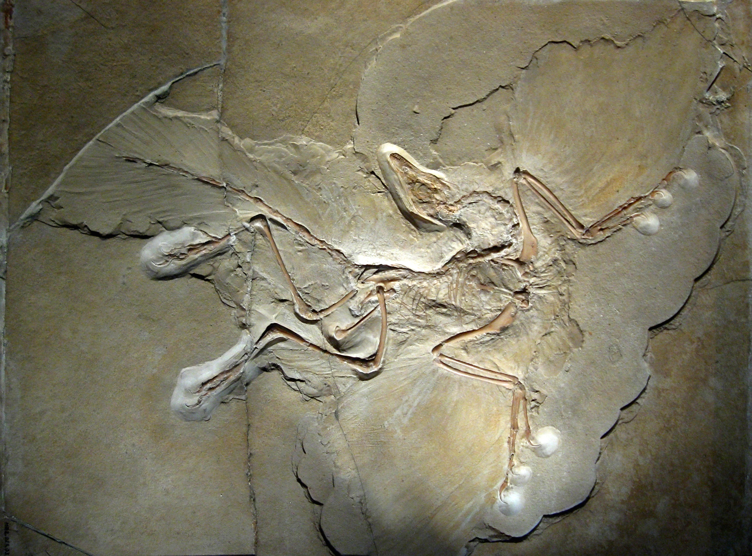 Archaeopteryx, a bird-like dinosaur. Note the long visible feather impressions.